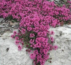 Thymus Red Creeping